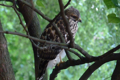 This juvenile buteo spent the night in our redbud tree and was still there at dawn.  Several experts weighed in without a clear consensus...probably a few more votes for Red-shouldered Hawk vs. Broad-winged Hawk.