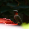 Backyard Hummingbird; August 11th, 2012