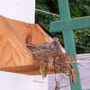 Two juvenile Mourning Doves getting perilously close to fledging.  May 2003