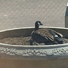 Canada Goose nesting in one of the large planters at our office building.