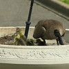 I visit again about four hours later, and the goslings are exploring the world a bit more.