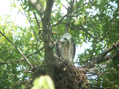 Mississippi Kite chick