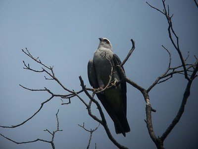 Mississippi Kite  August 11, 2013