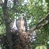 Mississippi Kite chick  8/4/2013
