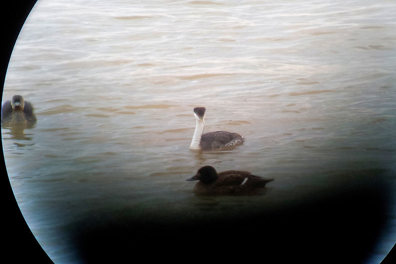 Western Grebe and White-winged Scoter on the Ohio River.  March 20, 2013