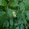 I found this pretty Saddleback Caterpillar while strolling in Cherokee Park in August, 2011.