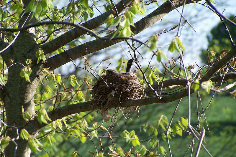 While walking in Cherokee Park we found an American Robin sitting on eggs.  April 23rd, 2005