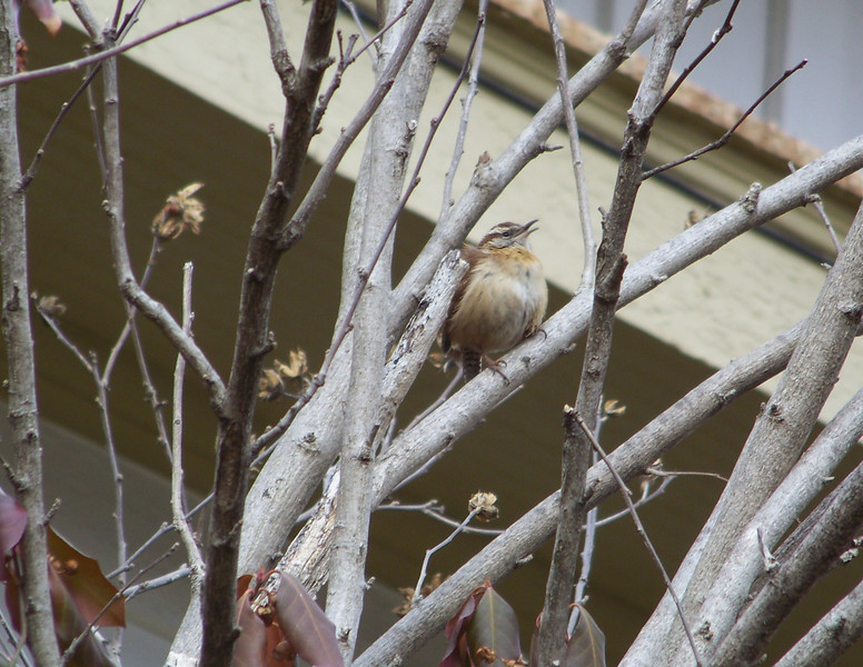 Carolina Wren in the 'hood.  February 15th, 2009