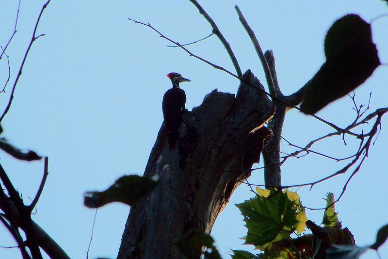 Pileated Woodpecker at Shawnee Park (the riverwalk).   9/5/2009