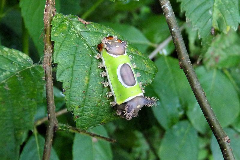 Extreme close-up:  Saddleback Caterpillar, August 2011