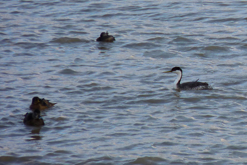Western Grebe and Ring-necked Ducks on the Ohio River.  March 20, 2013