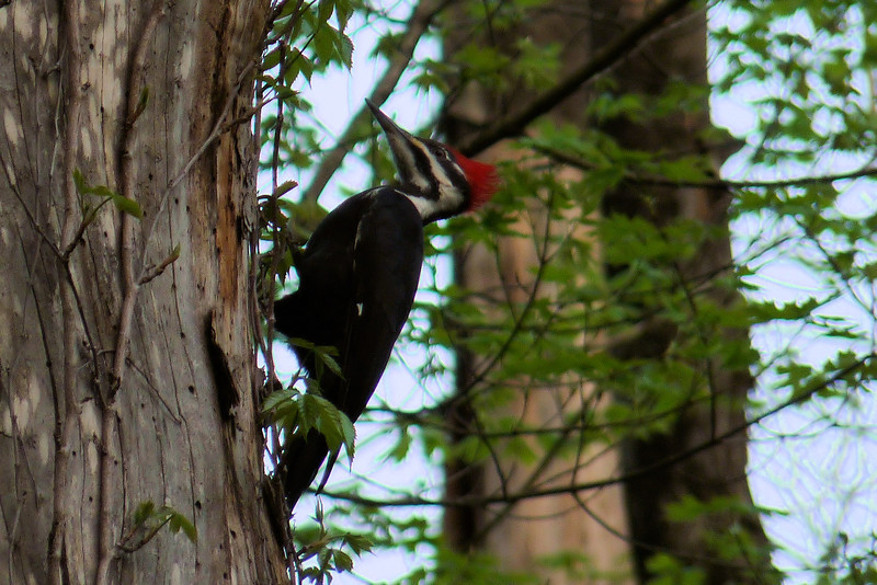 Pileated Woodpecker in Cherokee Park - April 2nd, 2012.