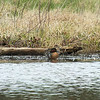 Green-winged Teal male and female - Hays-Kennedy Park, April 4, 2014