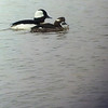 Mr. and Mrs. Bufflehead out for some foraging at Hays-Kennedy Park.  April 4, 2014