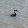 Western Grebe who just caught a fish!  March 20, 2013