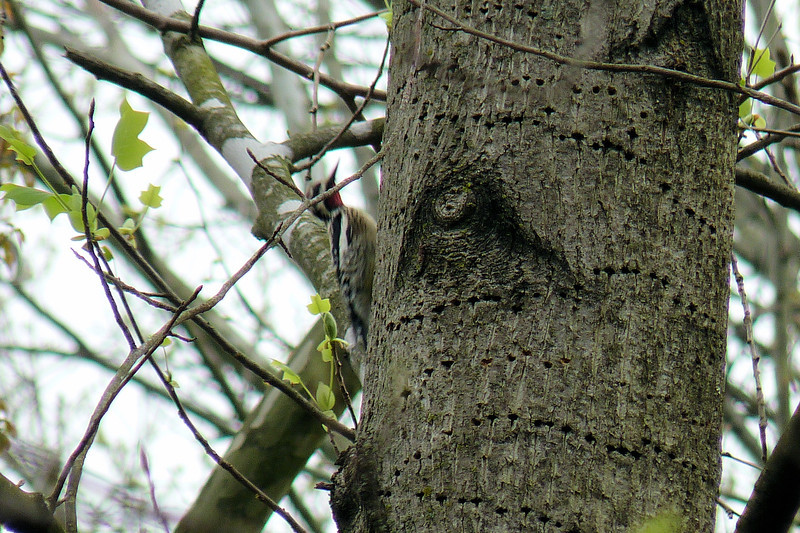 Yellow-bellied Sapsucker in Cherokee Park - March 25th, 2012.