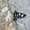 Eight-spotted Forester (Alypia octomaculata)