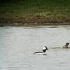 Bufflehead - Hays-Kennedy Park, April 4, 2014