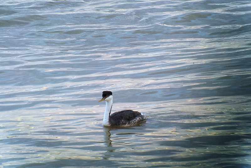 Western Grebe on the Ohio River.  March 20, 2013