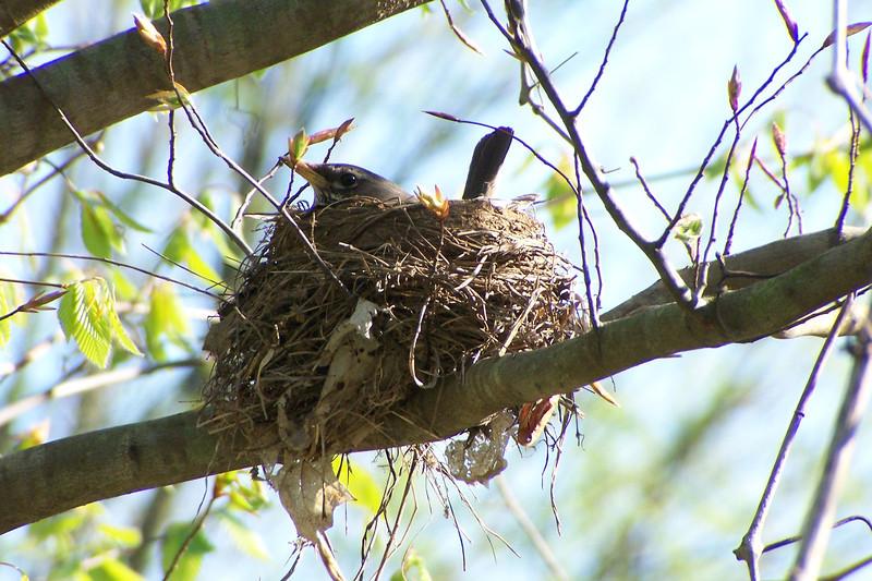 Nesting American Robin in Cherokee Park - April 23rd, 2005