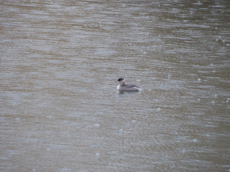 Red-necked Grebe on Willow Pond (Cherokee Park) - March 19, 2014