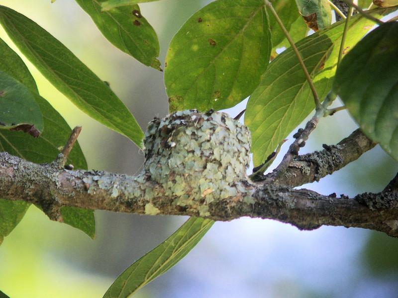Ruby-throated Hummingbird nest - Anchorage Trail! 9/20/2012