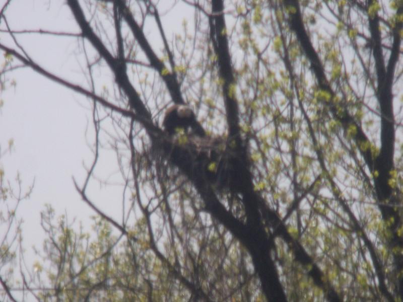 April 4, 2010 -- we schlepped our spotting scope across the Ohio River to see the first pair of nesting eagles in the Louisville area since pre-DDT days!  These Bald Eagles have taken over an old Great Blue Heron's nest in what is still an active heron rookery...<br /> <br /> The nest is viewable from the Clark Cabin site on the Ohio River in Clarksville, Indiana, just down river from the Falls of the Ohio State Park.  The great distance (60x magnification) and a strong wind buffeting the tripod made good digiscoping impossible, but if you imagine this view in focus, you'll have an idea what we saw through the scope.