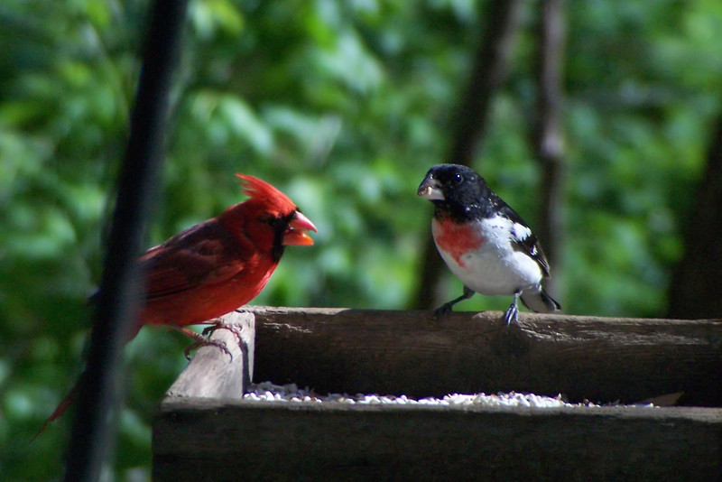 We find a Rose-breasted Grosbeak competing with a Northern Cardinal at the Louisville Nature Center's feeding stations.  4/29/2007