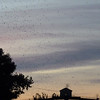 Purple Martin Roost on the Ohio River at Louisville, KY, August 14th, 2013