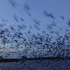 Jeane's stunning photo captures the madness!  Purple Martin Roost on the Ohio River at Louisville, KY, August 15, 2014