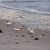 Napping Sanderlings; I haven't often seen them stationary.