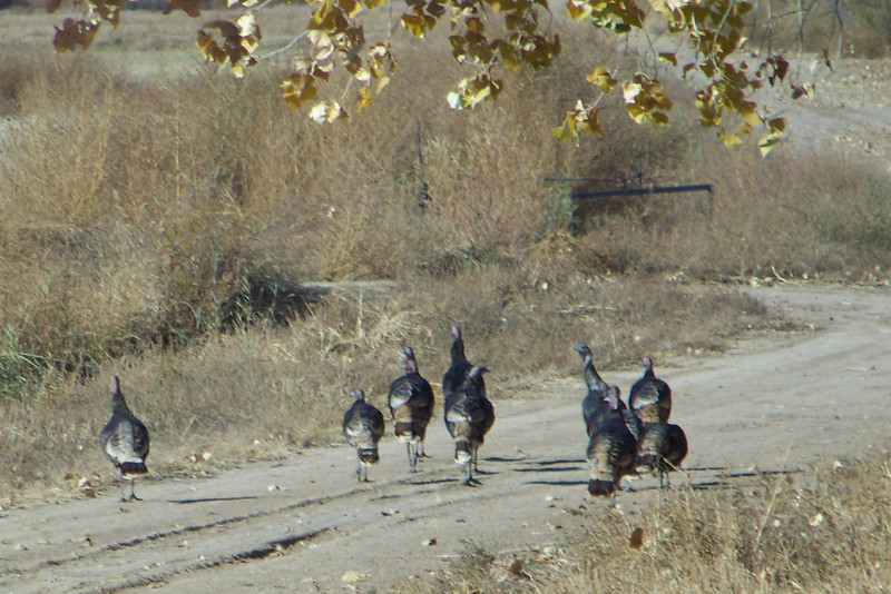 Next on my festival agenda was a bus tour of some areas of the refuge not open to the public.  A flock of wild turkeys welcomed us.