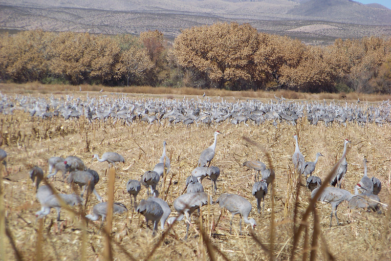 There were several thousand Sandhill cranes just in this cornfield; an amazing sight!