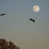 Sandhill Cranes and full moon