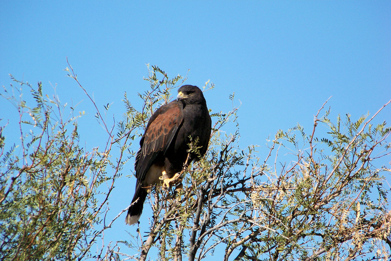 Next, we drove a short distance to find some desert habitat with small trees (mesquite, for example).  Matt brought out a pair of Harris's Hawks.