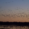 Once the cranes were pretty well settled, the hordes of white geese (both Snow Geese and Ross's Geese) came in en masse.