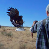 The falcons seemed like wild birds who were tolerating the human who provided an easy life; the Harris's Hawks seemed almost domesticated in their behavior -- this one has responded to Matt's whistle!