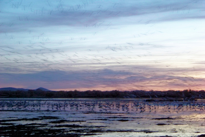 Last blurry geese in the air, with the water already full of resting Sandhill Cranes.