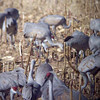Sandhill Cranes feeding at Bosque del Apache.  This is a video I took through the spotting scope...it was an experiment, but a pretty successful one!