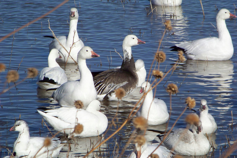 Snow Geese (the tall guys), and Ross's Geese (the short guys)