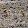 Our bus tour guide told us there was a Prairie Dog town on the refuge, and gave me directions, so I headed out that direction.  Sho' nuff.