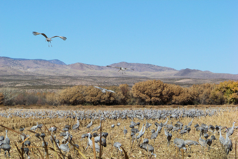 Sandhill Cranes looking for an empty space to land.