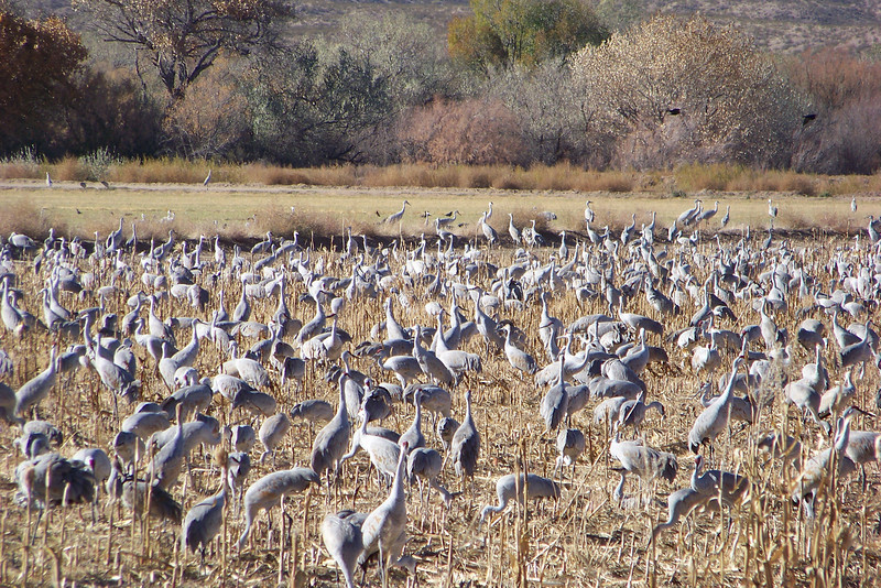 The size of the morning flock had diminished somewhat, but there were still plenty of Sandhill Cranes to enjoy.