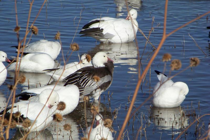 The handsome dark specimen is an adult dark-morph Snow Goose.