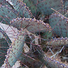 Prickly Pear cactus on the Canyon Trail