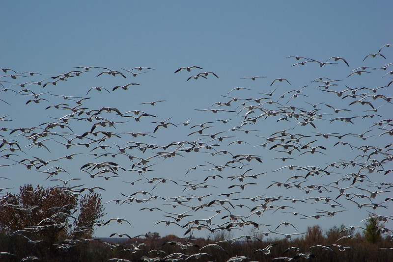 White geese (Snow Geese combined with Ross's Geese)