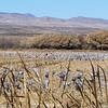 Sandhill Cranes - massive flock
