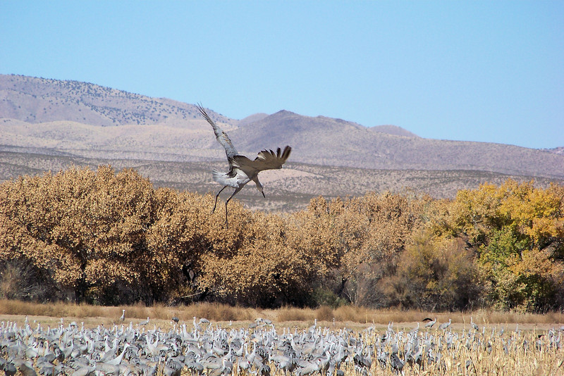 Sandhill Crane trying to find the runway; they are not the most graceful birds in flight!