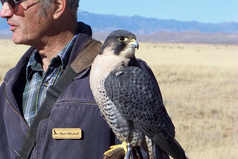 Hybrid Gyr-Peregrine Falcon