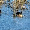 Northern Shoveler and American Coots